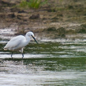 Little Egret, taken at Newport Wetlands Reserve
